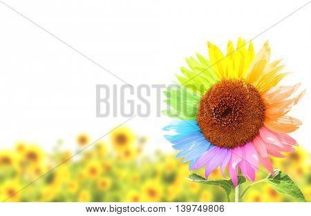 Rainbow. Sunflower with petals, painted in different colors in field. Isolated on white background