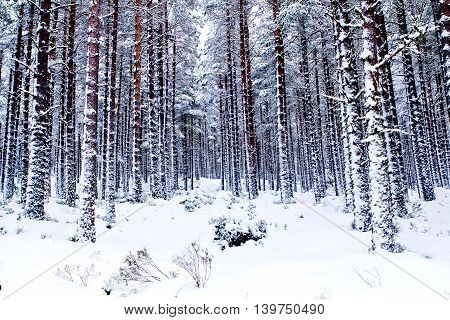 woods winter snow pine trees scenic landscape nature
