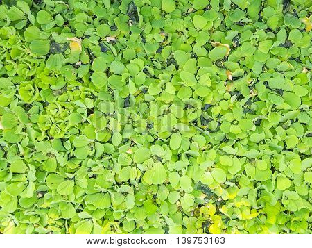 duckweed is a big problem in the river
