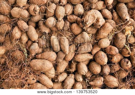 Group potato crop on the soil background