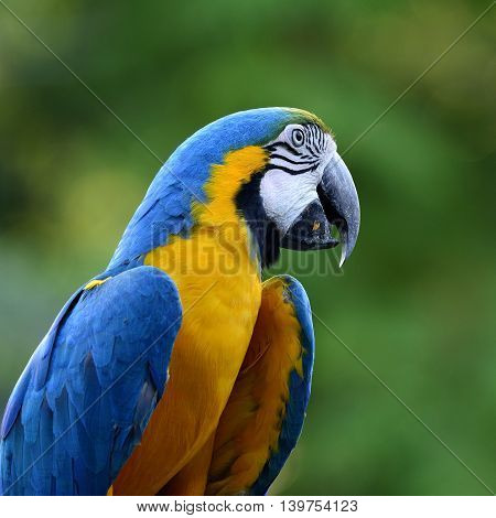 Beautiful Blue And Gold Macaw Parrot, The Beautiful Blue And Yellow Bird On Blur Green Background