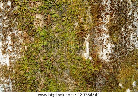 old wet concrete wall covered by moss