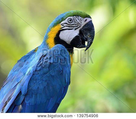 Blue-and-yellow Macaw (ara Ararauna) The Beautiful Blue Parrot