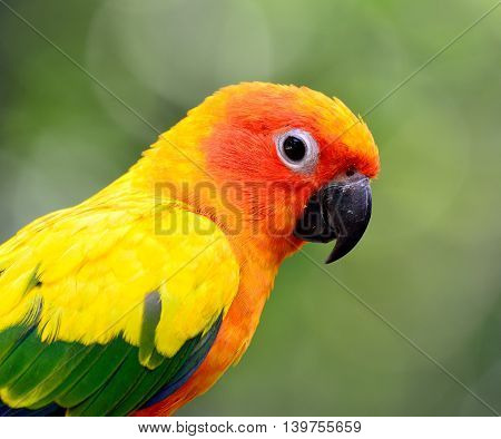 Face Shot Of Sun Conure Or Sun Parakeet (aratinga Solstitialis) The Lovely Yellow With Green And Blu