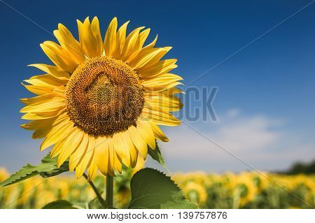 Close up photo of sunflower against blue sky.