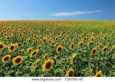 Field of blooming sunflowers on a background of blue sky.
