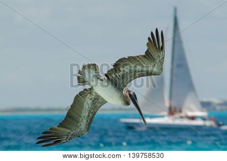 Pelican flying over the caribbean sea and sail boat