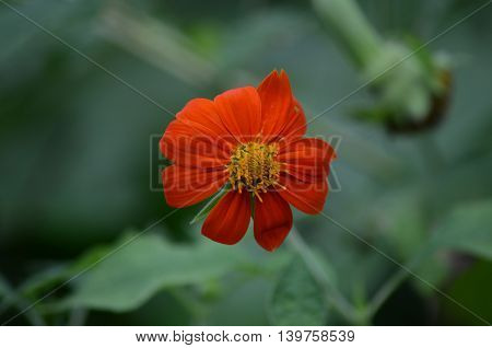 Orange dayse flower on the green nature