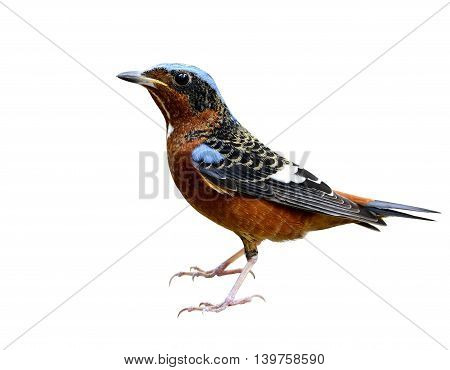 Male Of White-throated Rock Thrush (monticola Gularis) The Colorful Bird Fully Standing Isolated On