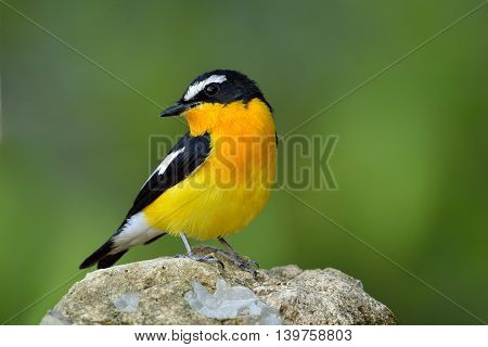 Male Of Yellow-rumped Flycatcher (ficedula Zanthopygia) The Beautiful Yellow Bird With Black Wings A