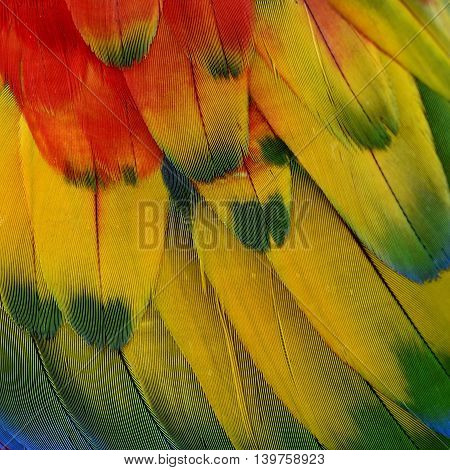 Mix of Red Yellow and Green background pattern of Scarlet Macaw parrot's wing the beautiful texture