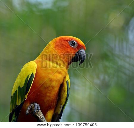 Portrait Of Sun Parakeet Or Sun Conure (aratinga Solstitialis) The Beautifulyellow Parrot Bird, Beau