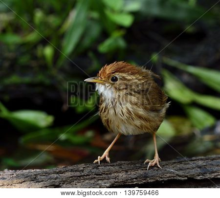 Puff-throated Babbler (pellorneum Ruficeps) The Beautiful Brown Birds With Fluffy Feathers While Tak