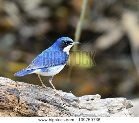 Siberian Blue Robin ( Luscinia Cyane) The Beautiful Blue Bird Standing On The Log Showing Its Back B