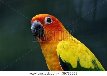 Sun Parakeet Or Sun Conure (aratinga Solstitialis) The Lovely Yellow And Orange Parrot Bird