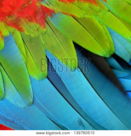 the beautiful blue green and red texture of Green-winged macaw bird feathers exotic colorful background