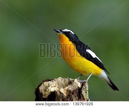 Male Of Yellow-rumped Flycatcher (ficedula Zanthopygia) The Beautiful Yellow Bird Perching On The Wo