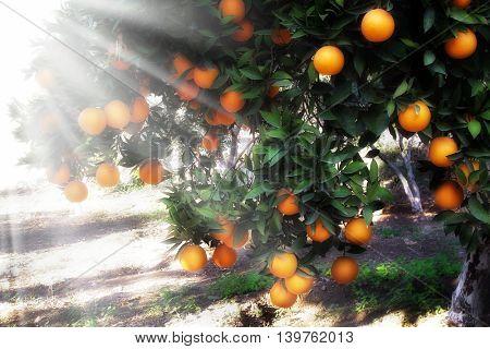 an image of orange tree