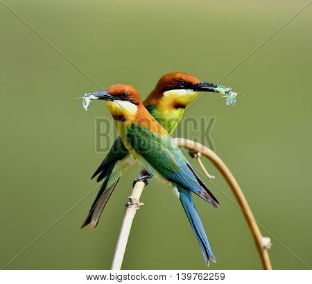 The Pair Of Chestnut-headed Bee-eater (merops Leschthe Sweet Pair Of Chestnut-headed Bee-eater (mero
