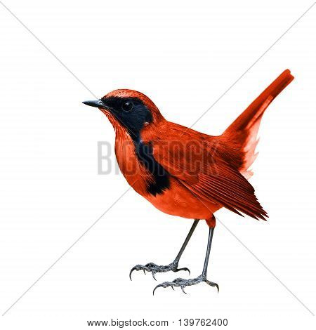 The Vivid Red Bird Fully Standing Isolated On White Background