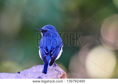 Ultramarine Flycatcher Or White-browed Blue Flycatcher (ficedula Superciliaris) Beautiful Blue Bird