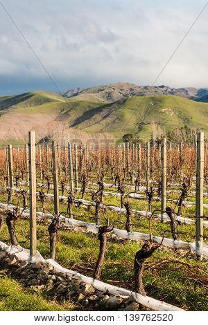 closeup of pruned grapevine in vineyard after harvest