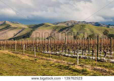 rows of grapevine in vineyard in New Zealand in winter