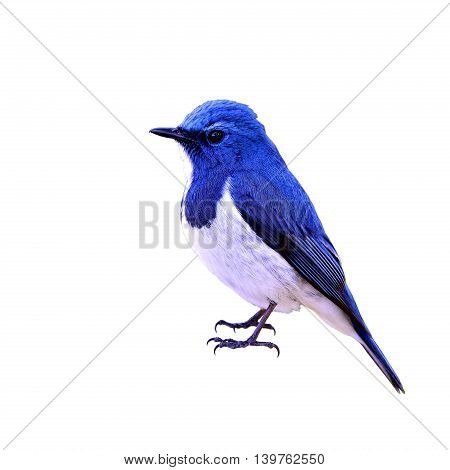 Ultramarine Flycatcher Or White-browed Blue Flycatcher (ficedula Superciliaris) The Most Beautiful T