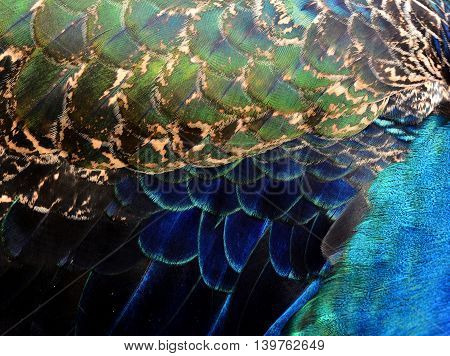 Velvet Blue Green And Vivid Background Of Indian Peacock Feathers, The Most Beautiful Bird In The Wo