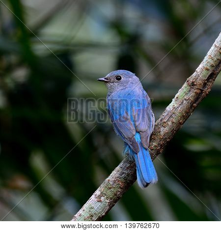 Verditer Flycatcher (eumyias Thalassinus) The Pale Blue Little Perching On The Branch