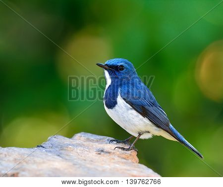 White-browed Blue Flycatcher Or Ultramarine Flycatcher (ficedula Superciliaris) The Beautiful Little