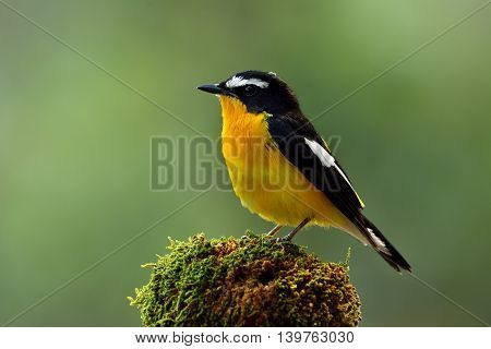 Yellow-rumped Flycatcher (ficedula Zanthopygia) The Beautiful Yellow Bird Perching On Mossy Top With