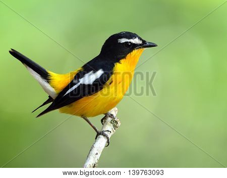 Yellow-rumped Flycatcher (ficedula Zanthopygia) The Beautiful Yellow Bird Wagging Its Tail, Exotic N