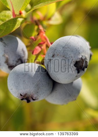 Closeup of American blueberries ripening on bush