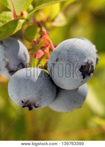 Closeup of American blueberries ripening on bush