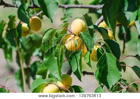 Green plum leaves background in the garden