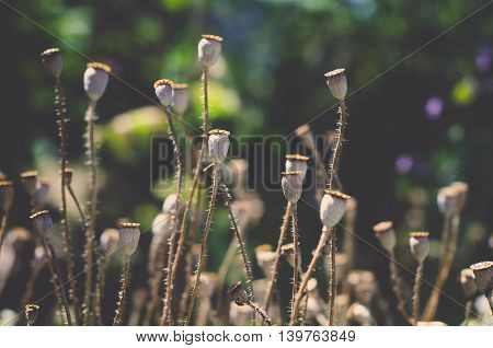 Evening field of poppy heads. Dry flowers are waiting harvesting. Background