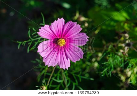 Cosmos flower. Cosmos Bipinnatus. with blurred background