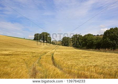 a golden hillside barley field with mature trees and hedgerows under a blue sky in summer