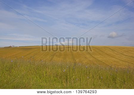 golden ripening barley with chicory flowers in the yorkshire wolds under a blue cloudy sky in summer
