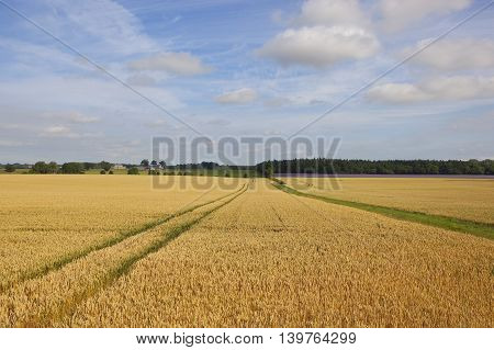a golden wheat field in summer with hedgerows and woodlands under a blue sky in yorkshire