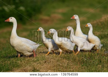 Flock of white domestic geese walking on floral meadow
