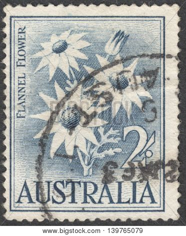 MOSCOW RUSSIA - CIRCA JANUARY 2016: a post stamp printed in AUSTRALIA shows a flower Actinotus helianthii the series