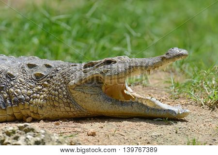 Big Crocodile In National Park Of Kenya
