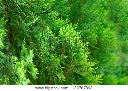 Green Thuja hedge texture close up view