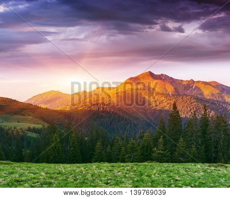 Wonderful sunrise in the mountains. Summer landscape with a fir forest and a beautiful top. Art processing of photos. Color toning