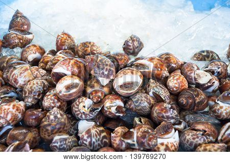 Fresh raw babylon snail on ice and selection focus with light art