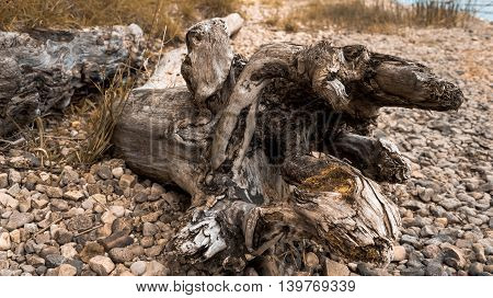 huge snag lies on the shore on the sand near the river on the rocks, branched, dark, water-smoothed