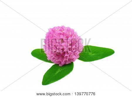 clover flower macro isolated on white background