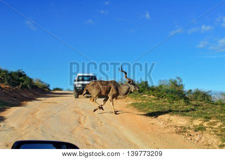 Kudu antelope crossing road in Kruger National Park, animals of South Africa